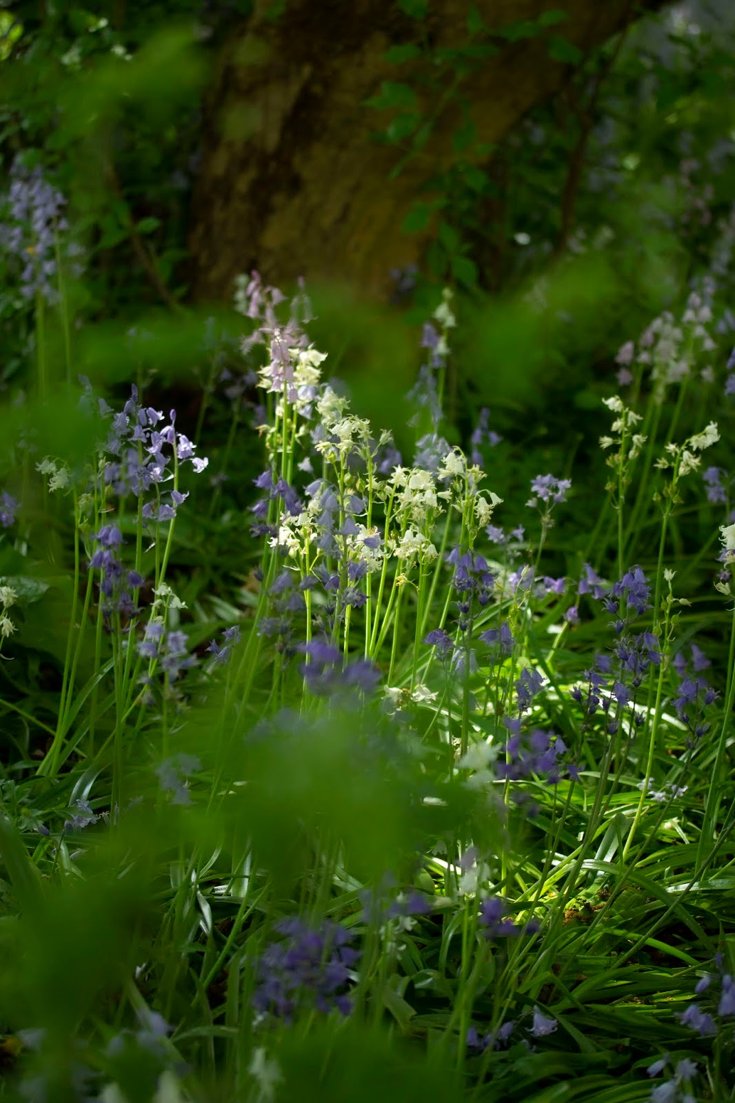 Hide and seek in the bluebells