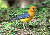 burung punglor merah www.burung45.blogspot.com