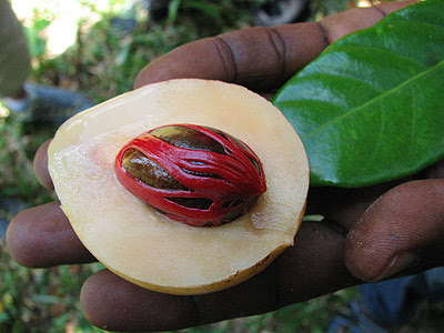 African nutmeg pictures and health benefits