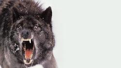 Wolf Wallpapers Best HD Wallpapers [WallpaperJet]