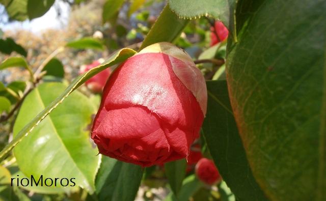Capullo de Camellia Dr Clifford Parks