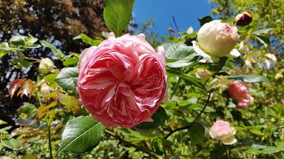 Rose-pierre-de-ronsard-blog-paris-a-louest