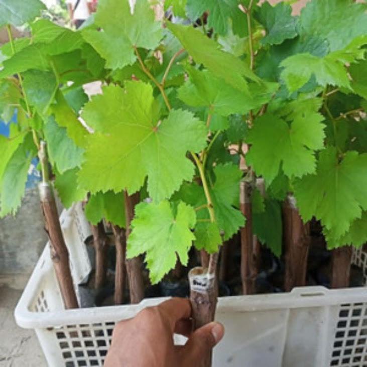 bibit anggur import banana Maluku Utara
