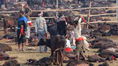 Thảm sát gia súc trong lễ hội tôn giáo ở Nepal và tập tục đẫm máu đã được bỏ