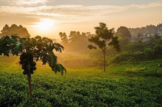 Tan Cuong tea hill at dawn 1