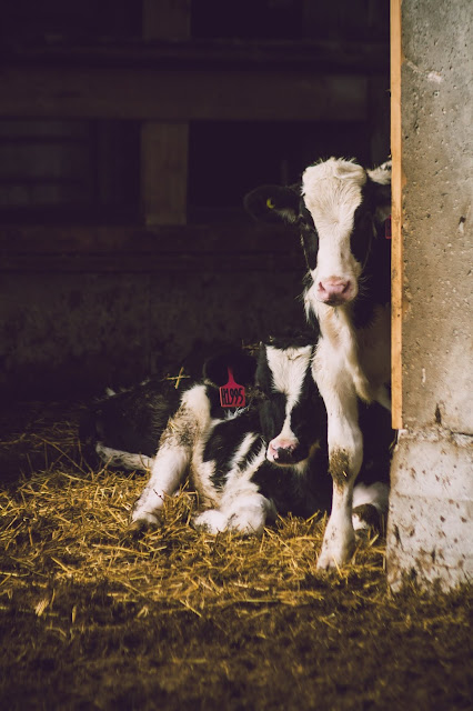 anak sapi jantan dari peternakan sapi perah