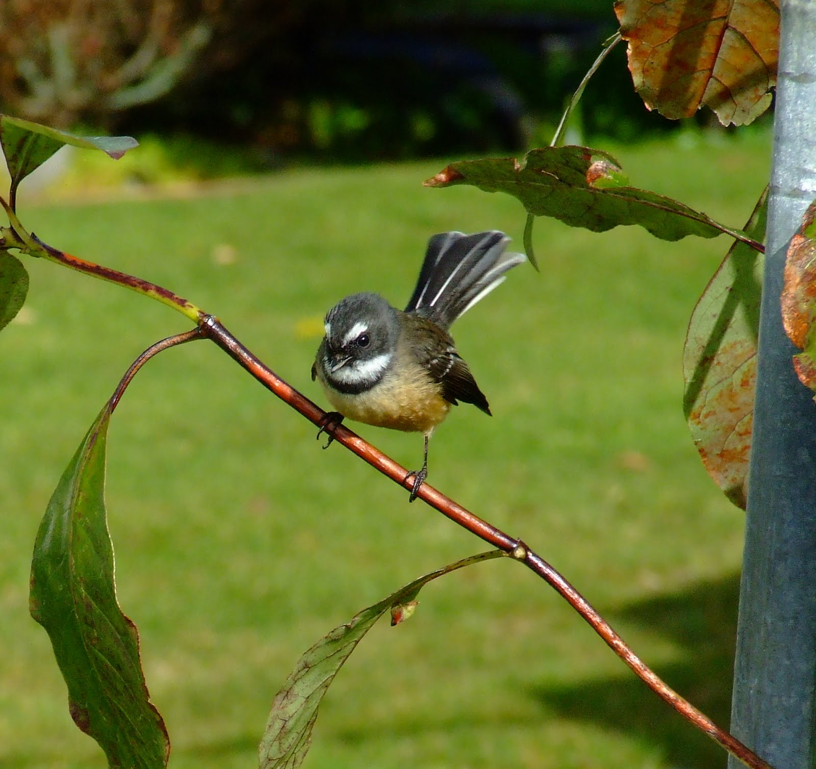Picture of a New Zealand fantail.