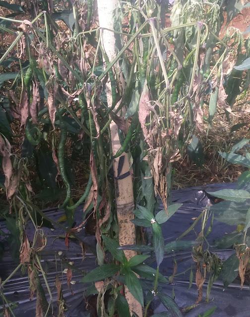 layu fusarium penyakit tanaman cabe