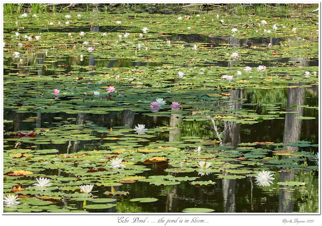 Echo Pond: ... the pond is in bloom...