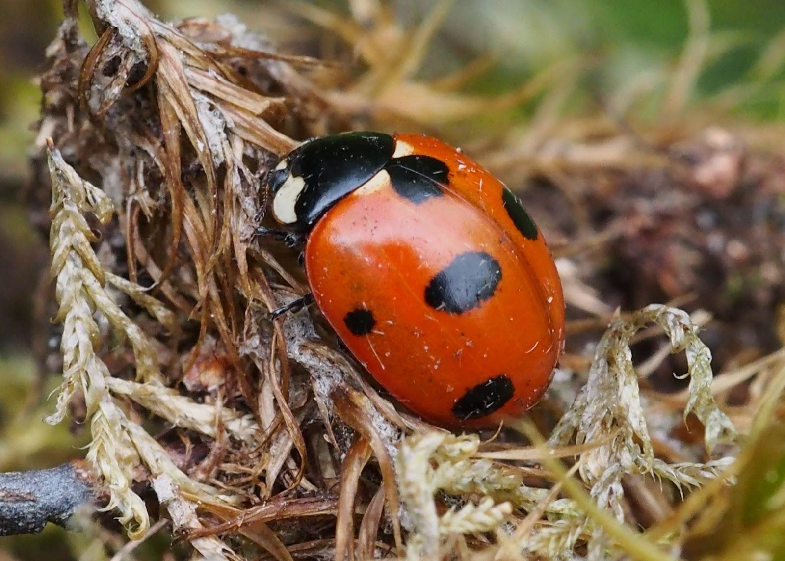 Bill S Birding Scarce 7 Spot Ladybird
