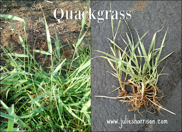 Quackgrass is always trying to make its way into my vegetable garden. It grows faster than my lawn and is much more coarse in texture. The root system of Quackgrass has bright white rhizomes that make this weed so aggressive.