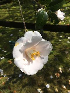 大島公園椿園の白い椿