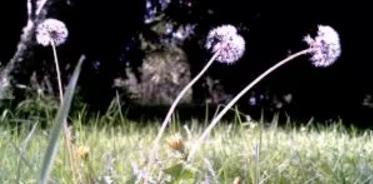 Bunga Dandelion di Arboretum Bumiaji Kota Batu