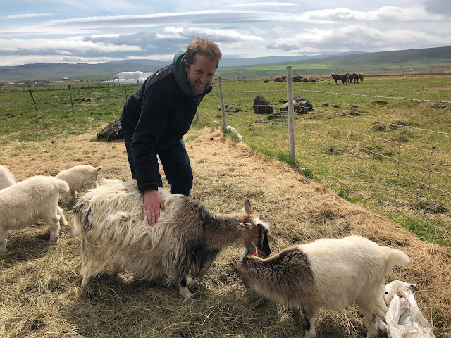 Meeting the goats of Háafell Goat Farm in West Iceland.