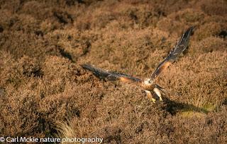 Red Kite, Milvus milvus, Autumn in Suffolk,flight, flying