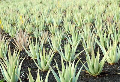 Aloe Vera puro de Canarias