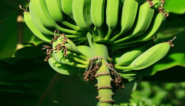 buah pisang muda