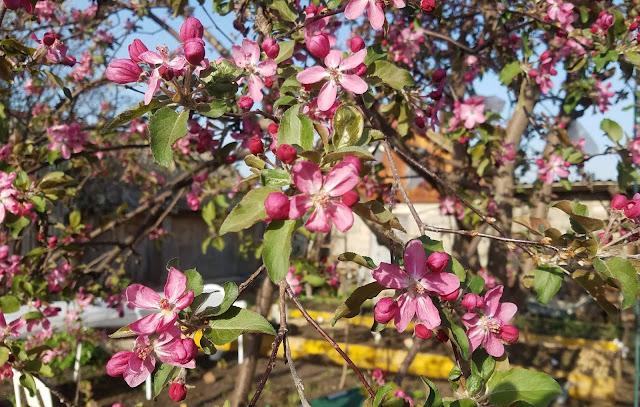яблони в цвету - какое чудо!