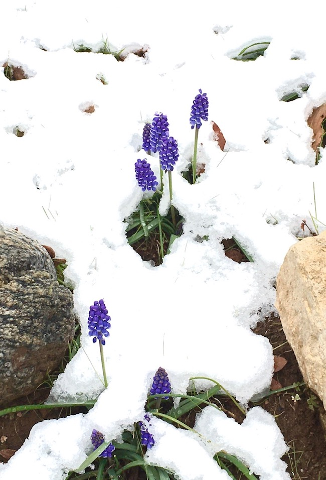 Covered in snow, early blooming blue grape hyacinths are beautiful