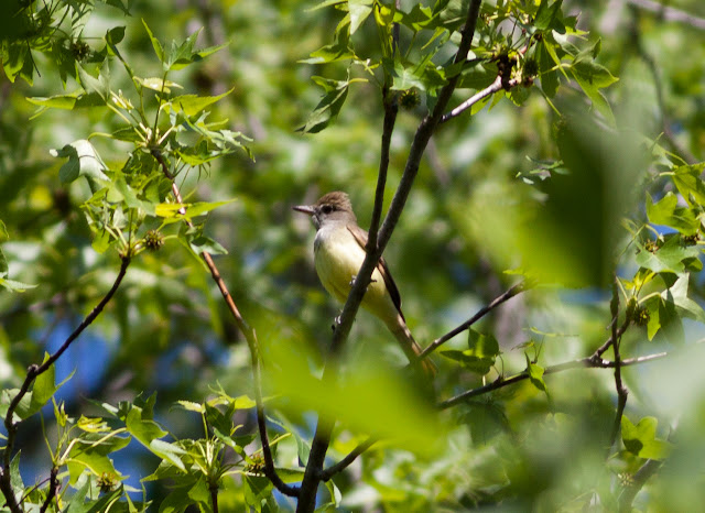 Great Crested Flycatcher - Prospect Park, New York