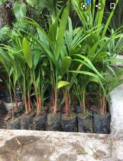 Bunga Palm Merah