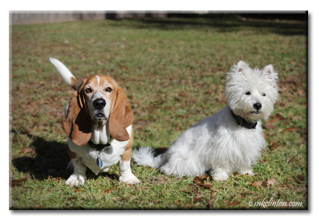 Bentley Basset Hound and Pierre Westie posing nicely.