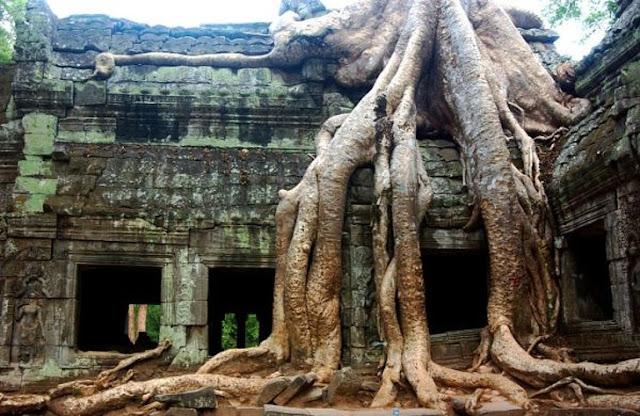 Essas árvores recuperaram seu poder em Ta Prohm Temple Angkor, Camboja