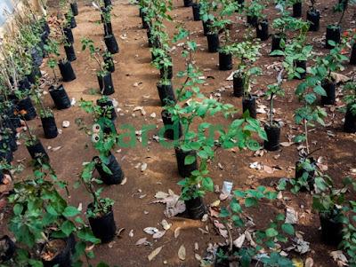 Cara mudah menanam Bunga Kertas (Bougenville) pada Pot dan Polybag/Polibek