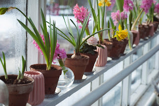 A row of bulbs in pots on a windowsill. Some have pink or yellow blooms.