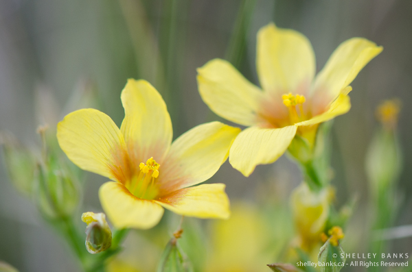 Yellow Flax.Copyright © Shelley Banks, all rights reserved