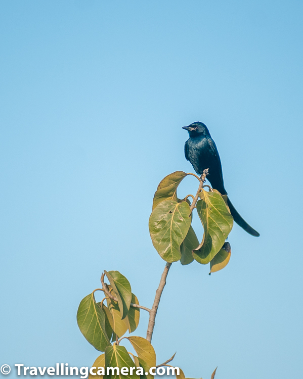 There are lot of Dronogos around The Westin Sohna Resorts & Spa. There are 29 species in the Drongo family.     Related Blogpost - Elusive Songmakers of Dalhousie, Himachal || Birds of the Himalayas    Drongos are mostly black or dark grey, short-legged birds, with an upright stance when perched. They have forked tails and some have elaborate tail decorations. Drongos feed on insects which they catch in flight or on the ground. Some species are accomplished mimics and have a variety of alarm calls, to which other birds and animals often respond.     Related Blogpost - The Winged Models || Birds of Badahin, Mandi, Himachal Pradesh