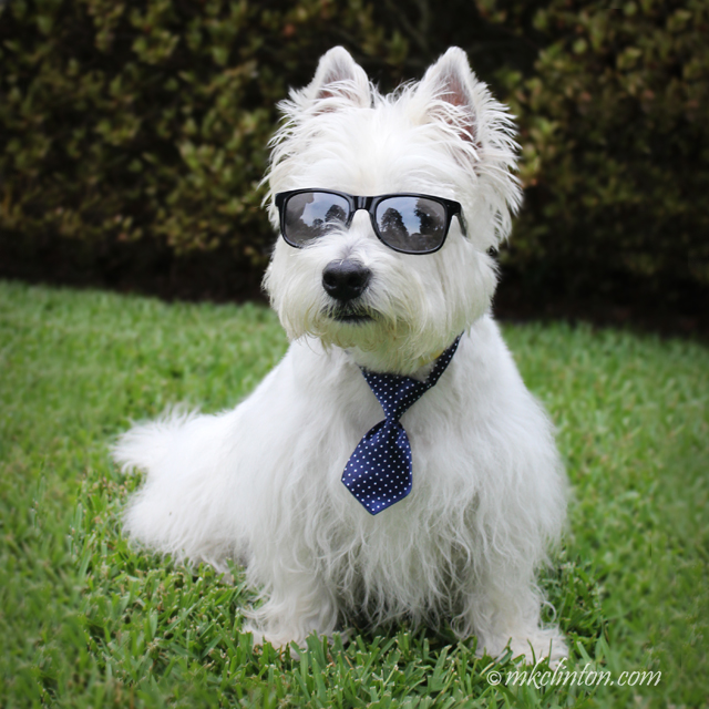 Pierre Westie modeling his sunglasses and blue dot tie
