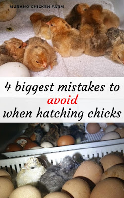 Fatal mistakes hatching chicks