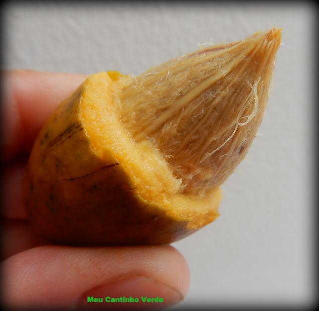 Fruta: OITI - (Licania tomrntosa)