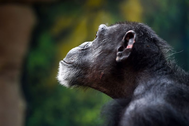 Chimpanzees in the wild reduced to 'forest ghettos'