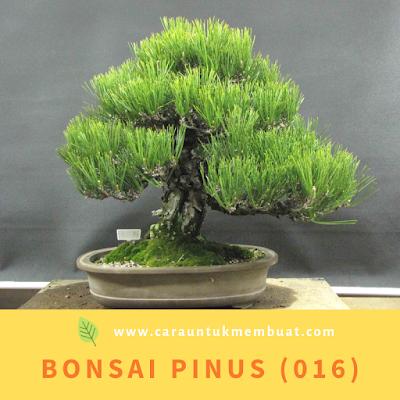 Bonsai Pinus (016)