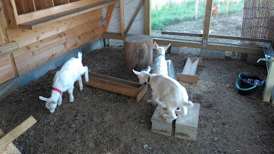 Three baby goats having fun destroying a chicken coop.
