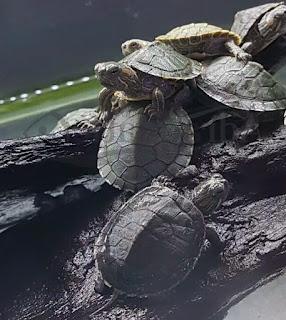 bayi-kura-kura-brazil.jpg