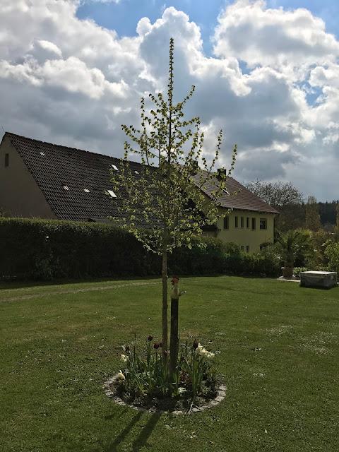 Hausbaum vor Aprilhimmel (c) by Joachim Wenk