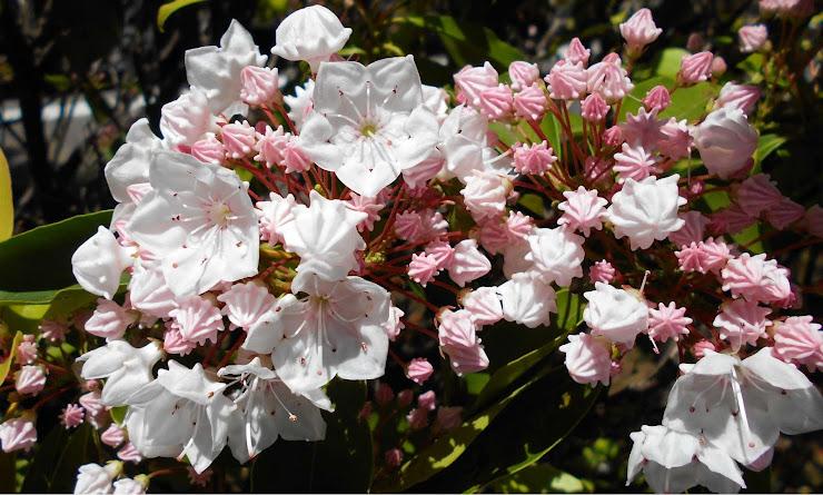 北アメリカの植物を収集したスウェーデンの植物学者 ペール・カルム(Pehr Kalm)にちなみ命名されたカルミア