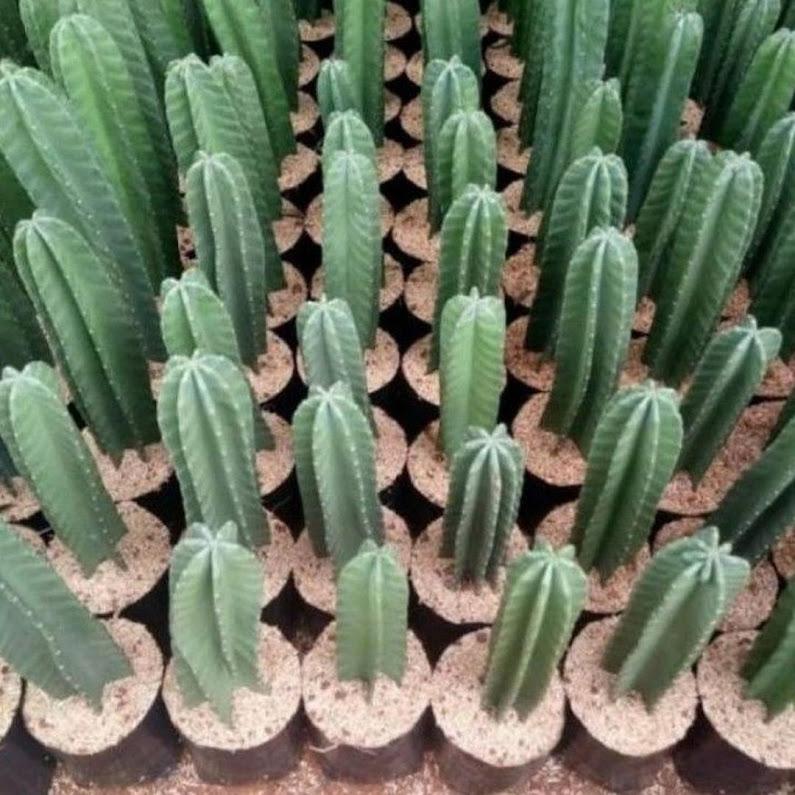 BISA COD Tanaman Cactus Cowboy Tanaman Hias Kaktus Koboi Pohon Kaktus Belimbing Malang