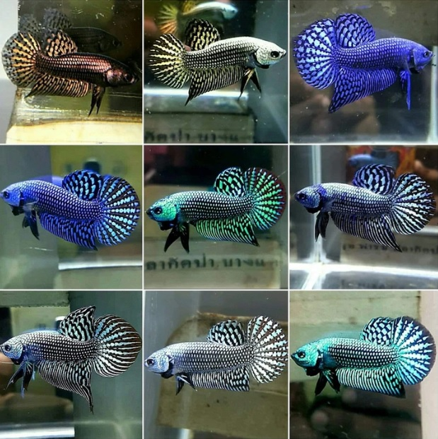 Corak Warna Ikan Cupang Alam - Wild Betta