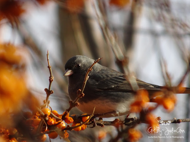Junco in Sea Buckthorn Bush 4 Photos