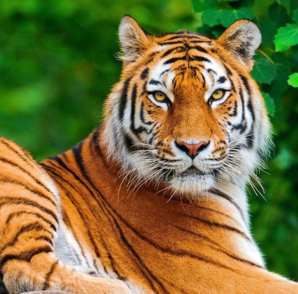 बाघ शेर का फोटो डाउनलोड फ्री hd