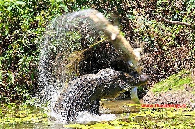 """Cá Sấu rừng Sác """"Nỗi khiếp sợ đối với lính Mỹ"""""""