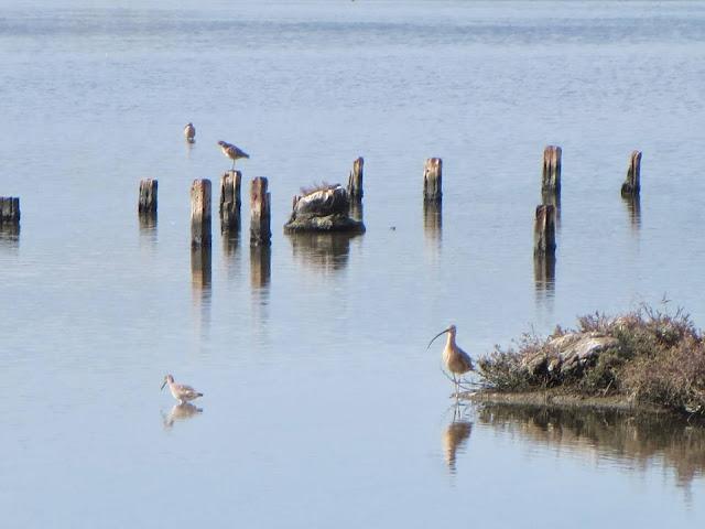 SF Bay Area Birds wading near the Dumbarton Bridge