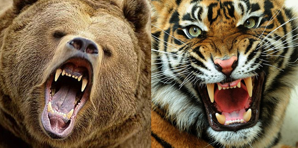 Tiger Vs. Bear