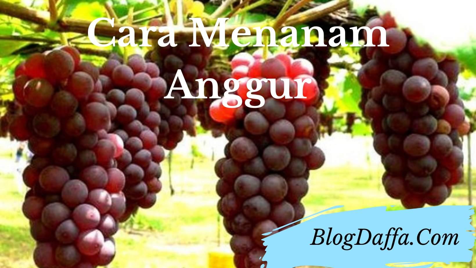 Cara menanam anggur organik di rumah