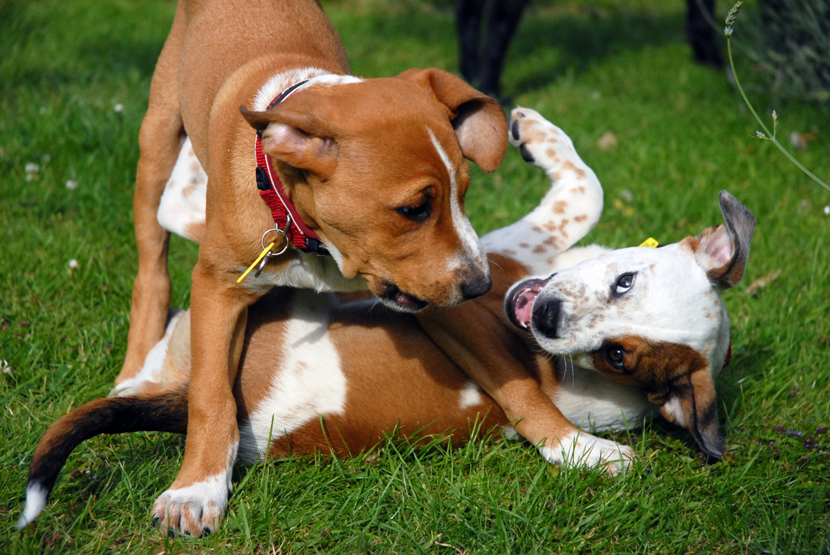 Two brown and white puppies play fight in the grass