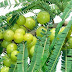 Phyllanthus Emblica  Indian Gooseberry Tree 15 Seeds